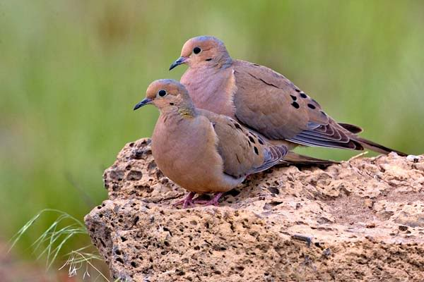 mourning dove eggs, oregon