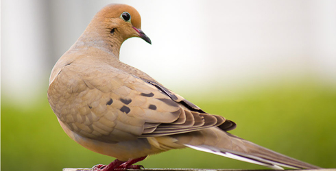 mourning-dove-490x250