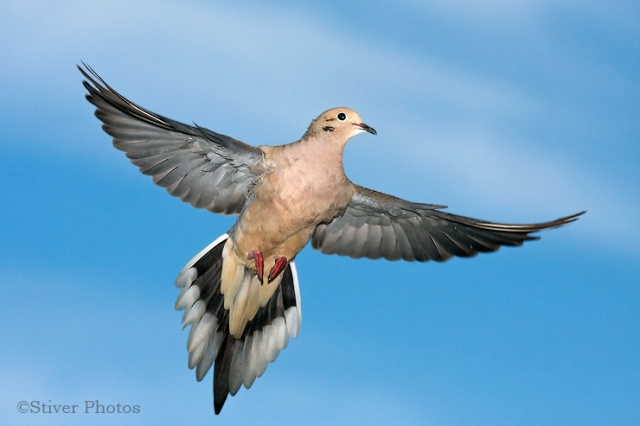 mourning_dove13